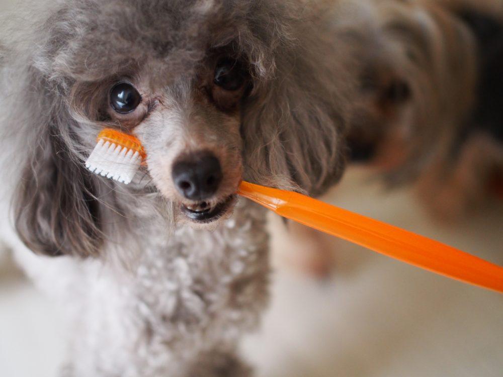 犬の歯磨きを簡単に出来る方法とコツ!【どうしても歯磨きができない子にはこれ‼】